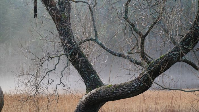 Mist Tree Plant Branch No People Nature Bare Tree Trunk
