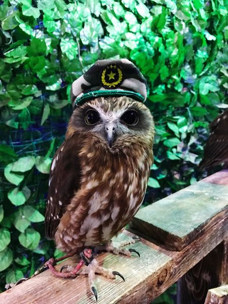 One Animal Animal Themes Looking At Camera Portrait Bird Of Prey Bird Owl Animal Wildlife Outdoors No People Day Mammal Perching 梟 Cute Cap 招福 ふくろうカフェ 福 フクロウ Cafe Cafe Time