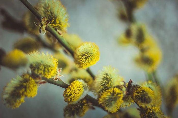 Весенние пушистики) беларусь Природа цветы весна Belarus Nature Flowers Follow Spring