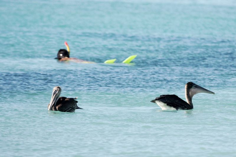 Caribbean Sea Snorkeling Animal Themes Animal Wildlife Animals In The Wild Beauty In Nature Between Pelicans Bird Day Nature Outdoors Sea Swimming Water
