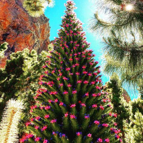 Trajinaste En El Teide I Love Flowers And Nature Nature Tajinaste Tajinastes Volcano Landscape
