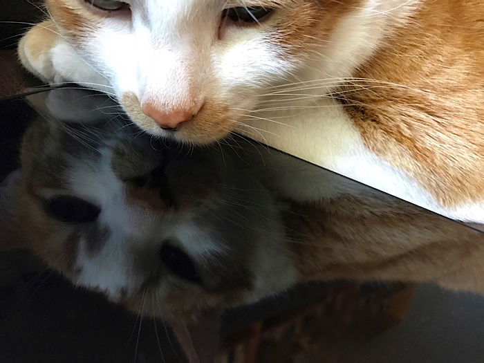 Orange and white tabby cat is reflected in owner's tablet. Calm Cat Close-up Copy Space Electronic Device Feline Ginger Tabby Indoors  Lying Down Mammal Natural Light No People Orange And White Cat Part Of Pets Phone Camera Reflection Resting Tablet Textures Whiskers Zoology