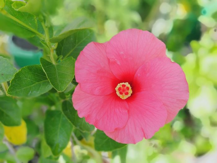 pink hibiscus flower in garden Flora Bloom Garden Park Nature Green Green Color Plant Tree Flower Pink Pink Flower Pink Hibiscus Close-up Close Up Closeup Near Flower Head Flower Pink Color Petal Close-up Plant Hibiscus Single Flower Pollen Blooming In Bloom Blossom