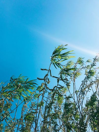 Low angle view of tree against clear blue sky