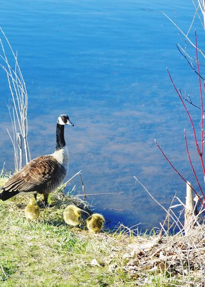 Oh so sweet Geese Family Marsh Bird Water Nature Beauty In Nature Outdoors