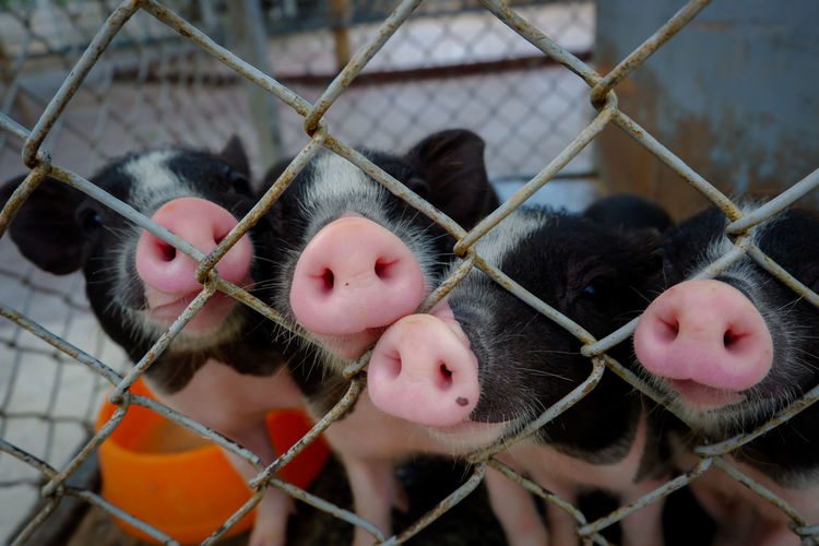 Close-up of piglets looking through chainlink fence