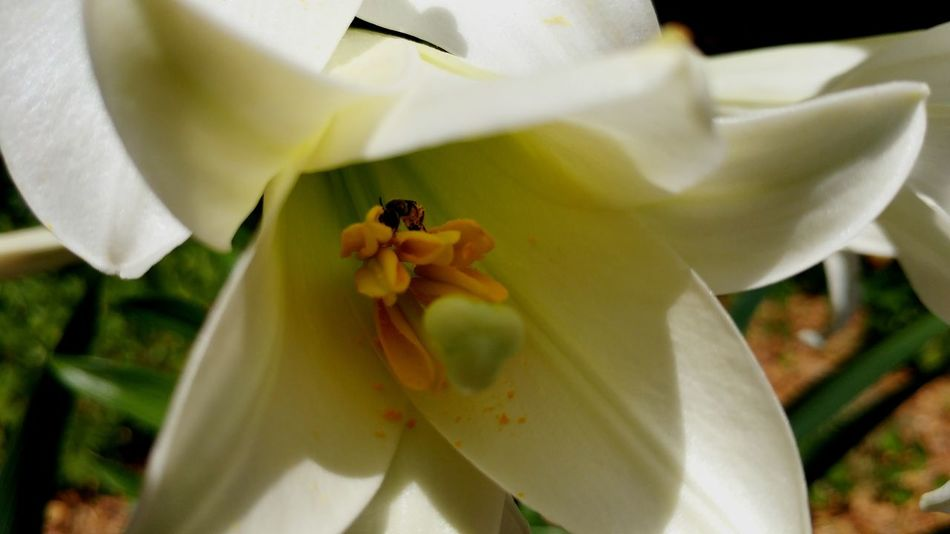Sweat Bee on a Lily White Lily Sweat Bee Sunny Day