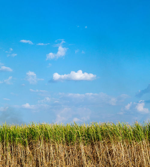 Agriculture Beauty In Nature Blue Cloud - Sky Day Environment Field Grass Green Color Growth Land Landscape Nature No People Outdoors Plant Rural Scene Scenics - Nature Sky Sugar Cane Field Tranquil Scene Tranquility