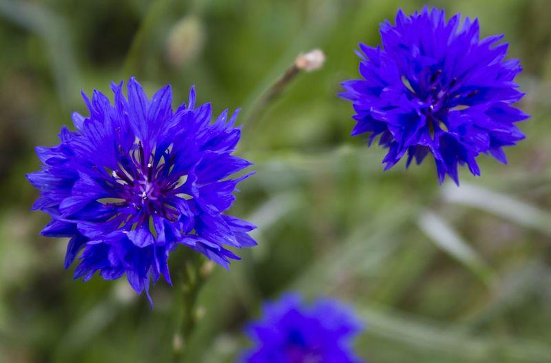Blue flowers Blue Flowers Greengrass