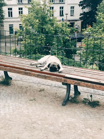 One Animal Mammal Animal Themes Domestic Animals Tree Day Outdoors Pets No People Pug Dog Dogs Dogs Of EyeEm Pupper Doggo Berlin Berliner Ansichten Sad Sadness
