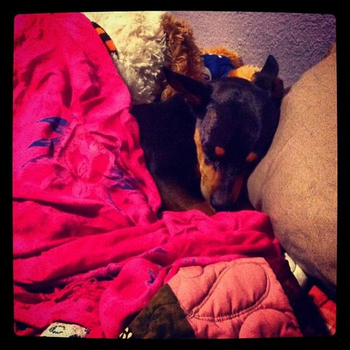 My son, he be sleeping Pinkblankie Pinksarong Moon Hunter minpin miniaturepinscher chihuahua terriermix myson mysonwithfourlegs sleeping sleepy meemees