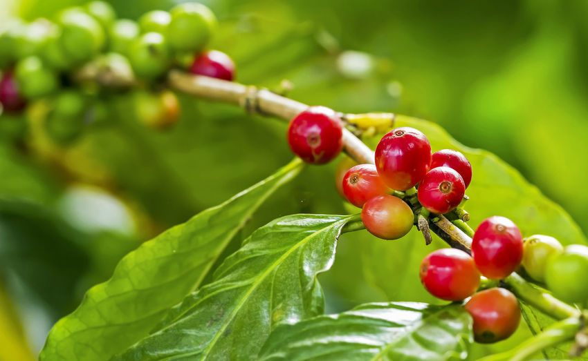 Close-up of red cherries growing on tree
