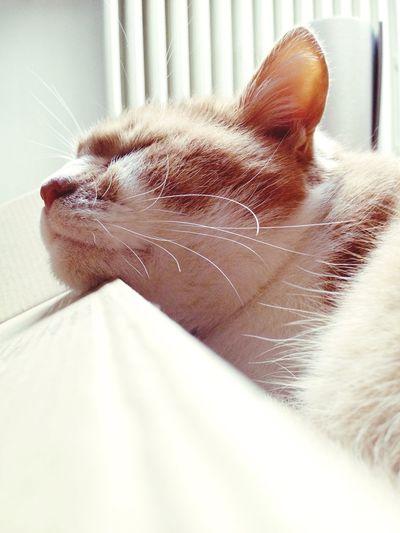 Cat Kitty Roux Sleeping Doux Dreaming Dream