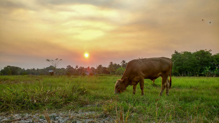 Cow Grazing On Field Against Sky During Sunset