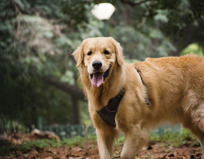 Doggy Petlover India Cutie Love Loveforlife Nikon Nikonphotography Kit Lens EyeEm Selects Pets Portrait Water Dog Looking At Camera Close-up Pet Collar Animal Tongue Boxer - Dog Canine Carnivora