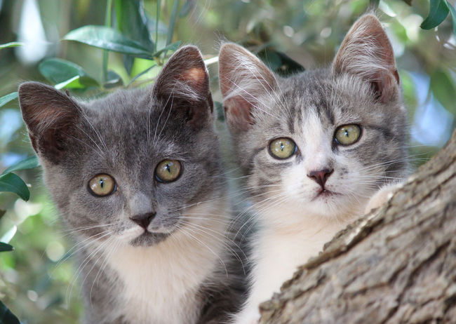 Animal Eye Animal Head  Animal Nature Animal Themes Brothers Cat Cats Domestic Animals Domestic Cat Feline Felini Fratelli Gatti Micio Nature No People Pets Siamese Cat