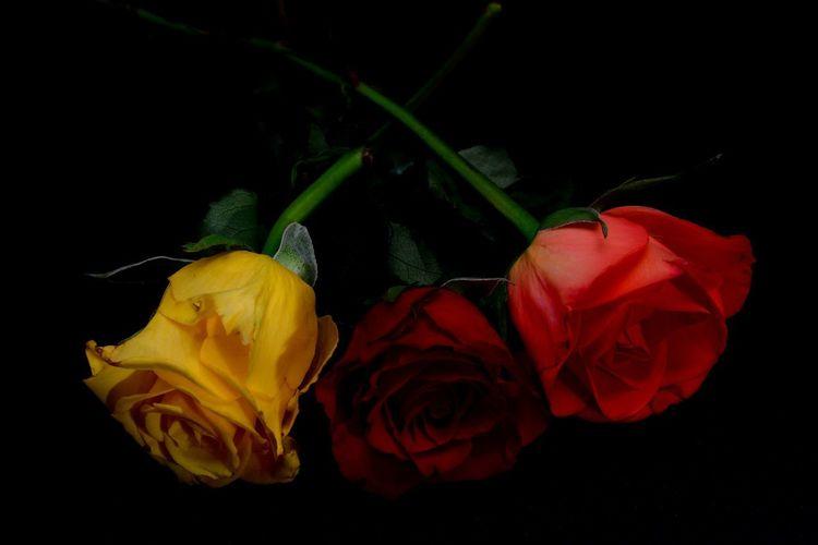 Close-up of rose against black background