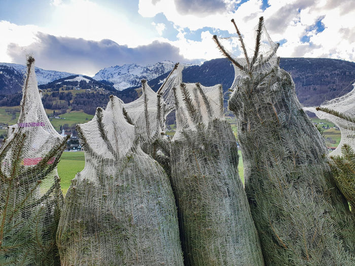 Nordmann firs wrapped in plastic nets in front of the swiss alps in mels near canton st. gallen.