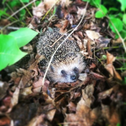 One Animal Animal Themes High Angle View Plant Nature No People Day Animals In The Wild Leaf Growth Outdoors Fragility Close-up Hedgehog Geholfen Helfen Natur Igel Christianmuelleroffi