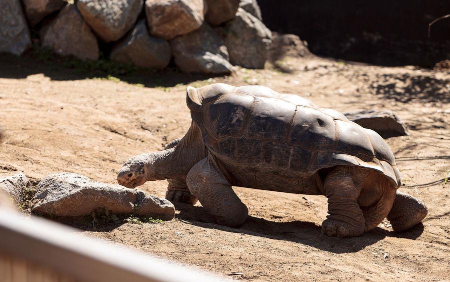 San Salvador Island tortoise known as Chelonoidis nigra darwini is found in the Galapagos on San Salvador Island Chelonoidis Nigra Chelonoidis Nigra Darwini Giant Tortoise Herp Herpetology Large Tortoise Reptile San Salvador Island San Salvador Island Tortoise Tortoise