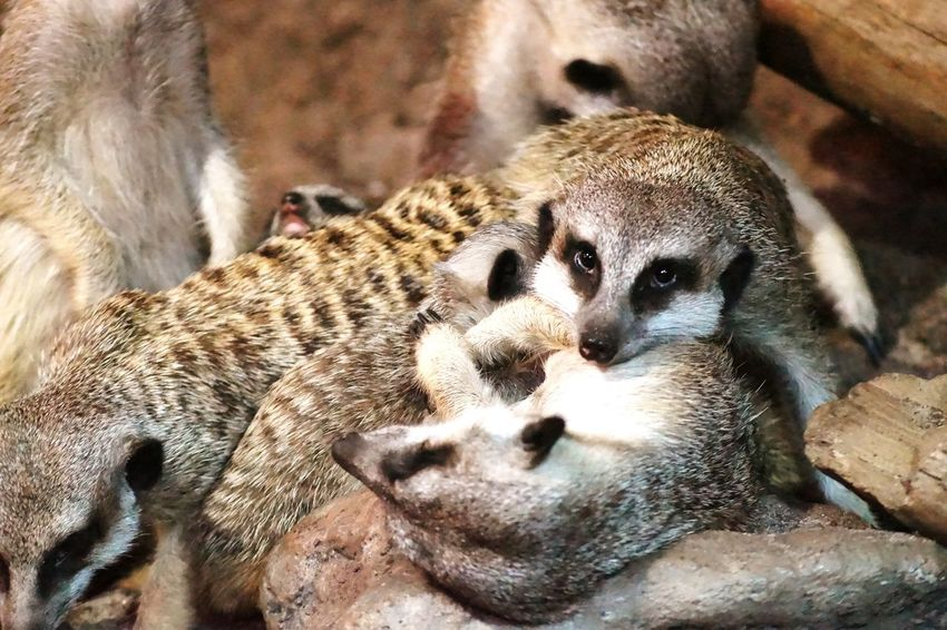 Suricate Fine Art Photography Colour Of Life 2016 Juni Niklas Maximum Closeness Always Be Cozy BYOPaper! The Week On EyeEm Perspectives On Nature