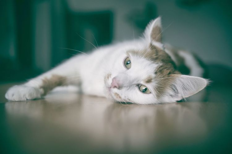 Cute tabby cat lying on the table.