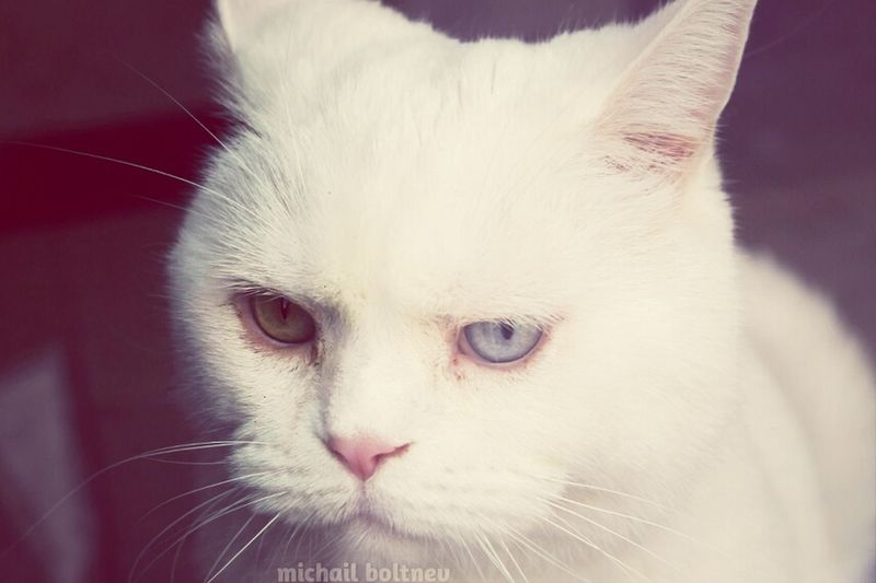 White grumpy cat! :D