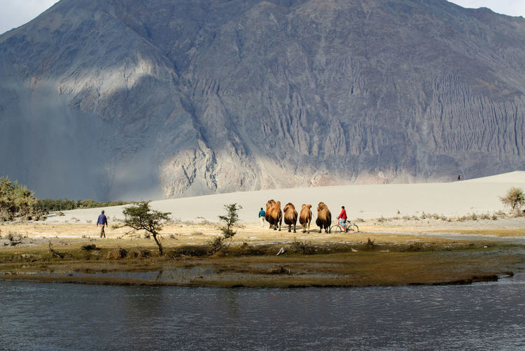 Bactrian Camels Walking At Desert By Lake