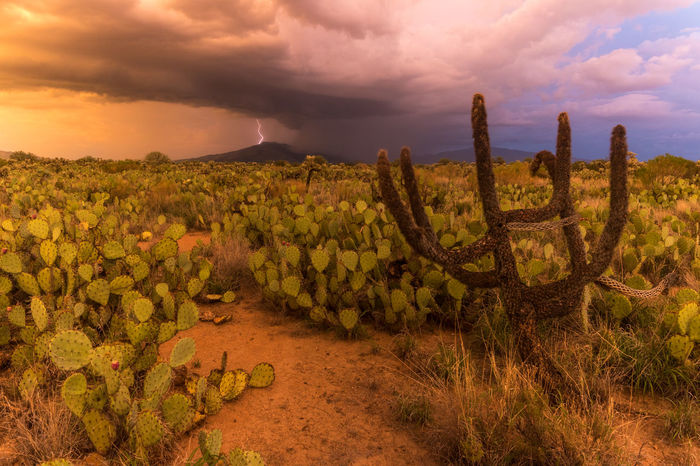 A monsoon thunderstorm underway in the background of this tranquil sunset scene in Tucson, AZ. Monsoon season 2017 Arizona Cactus Desert Monsoon Rain Weather Beauty In Nature Landscape Light And Shadow Lightning Mountain Nature Prickly Pear Cactus Scenics Sky Storm Cloud Sunset Thunder Thunderstorm Tranquility