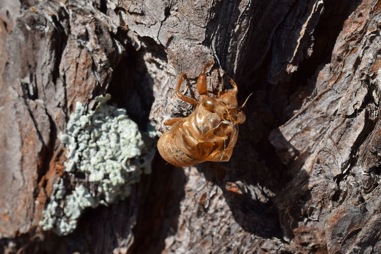 Close-up of cicada shell on tree trunk