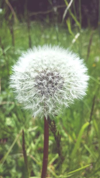 dandelion seeds Flower Head Flower Uncultivated Wildflower Dandelion Thistle Close-up Plant