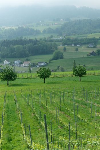Landscape Plant Tree Rural Scene Environment Agriculture Land Tranquil Scene Beauty In Nature Scenics - Nature Green Color Tranquility Growth Nature Farm Day No People Vineyard Crop  Outdoors Plantation Winemaking