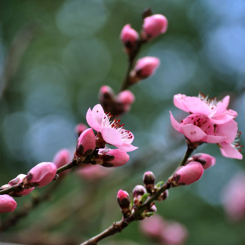 Peachtree Blossom Peach Blossom Flowers, Nature And Beauty Summer Flower Nature Beauty In Nature Petal Fragility Pink Color Plant Freshness Springtime Flower Head