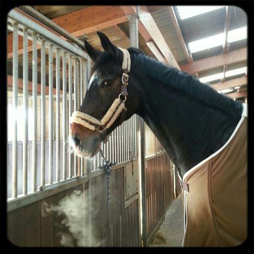 Horse Reiten Pferd Horseback Riding Dressage Dressur Holsteiner Dressagehorse Dressurpferd