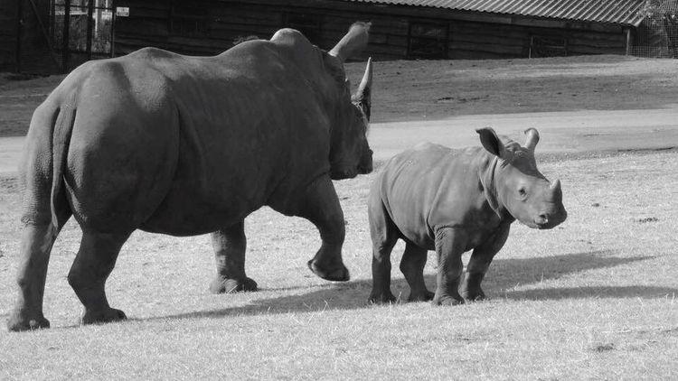 West Midlands Safari Park Animal Themes Two Animals Herbivorous Zoology Safari Animals Safaripark Wildlife & Nature Zoo Animals  Rhino Rhinoceros Baby
