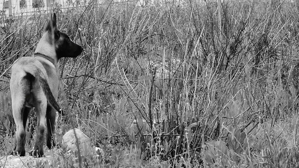 Malinoislife Malinois Pets Animal Nature One Animal Malinoislove Malinois Dog Malinoislovers Black And White Animal Themes