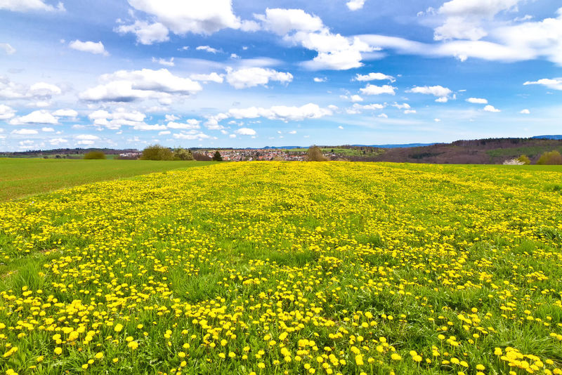 Flower field in spring between Baltmannsweiler and Esslingen, Germany, Baden Württemberg Baden-Württemberg  Dandelions Esslingen Freedom Green Rural Stuttgart View Agriculture Beauty Blue Sky Clouds Dandelion Ecology Enviornment Field Flower Germany Landscape Nature Schurwald Sky Spring Tranquility Yellow