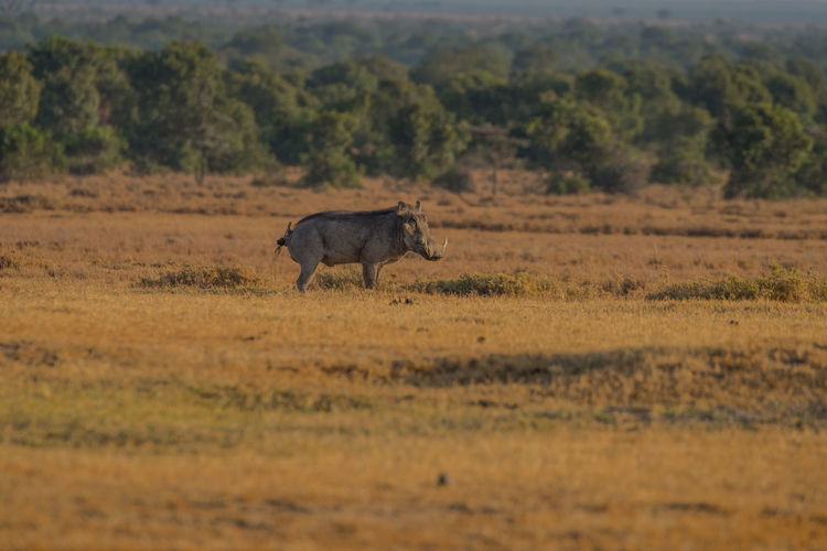 Wild animal on field in kenya