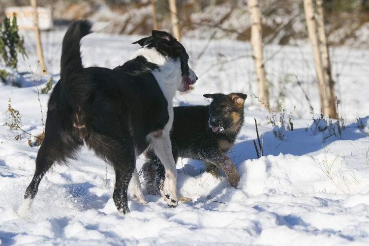 Border Collie Animal Themes Beauty In Nature Cold Temperature Day Dog Domestic Animals Field German Shepherd Mammal Nature No People Outdoors Pets Puppy Snow Weather White Color Winter
