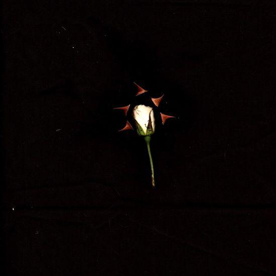Rosebud Thorns Assemblage Naturephotography Nature Close Up
