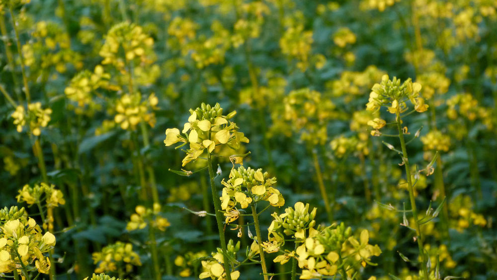 Agriculture Canola Crops  Rapeseed Field Agricultural Field Canola Canola Flowers Close-up Crop  Day Field Flower Head Flowering Plant Focus On Foreground Fragility Growth Land Nature No People Outdoors Petal Plant Rapeseed Rapeseed Blossom Vulnerability  Yellow
