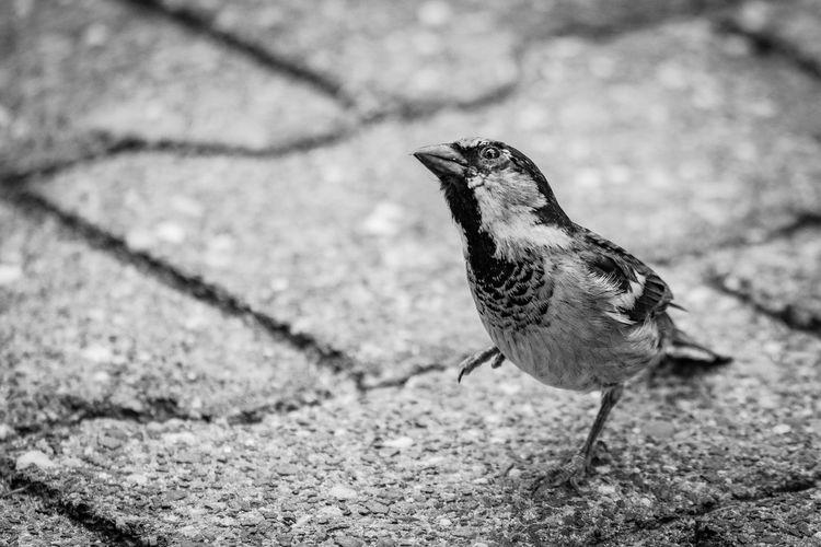 Sparrow Blackandwhite Sparrows Animal Themes One Animal Animal Wildlife Animal Animals In The Wild Vertebrate Bird No People Outdoors