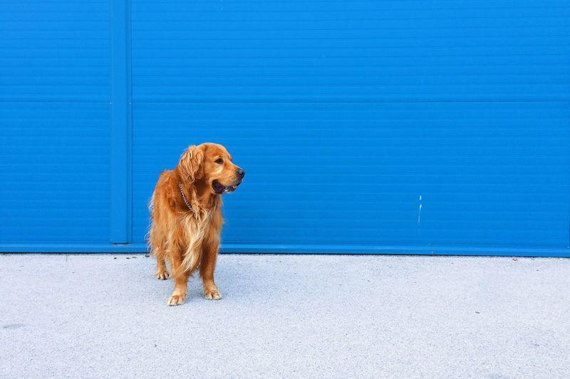 Golden retriever standing on sidewalk against blue wall