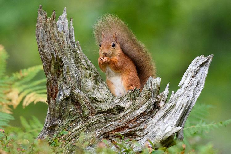 Red Squirrel Squirrel Animal Wildlife Animals In The Wild Close-up Nut One Animal Squirrel Eating