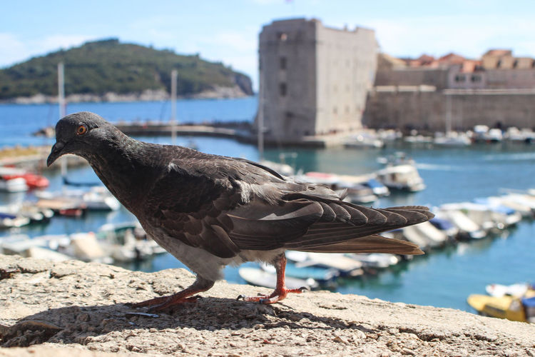 Pigeon in Old Town, Dubrovnik Dubrovnik Adriatic Sea Tourism Tourism Destination Tourist Attraction  Tourist Destination Travel Travel Destinations Water World Heritage Site Bird Vertebrate Animal Themes Animal Focus On Foreground Sea Sunlight Perching Wall No People Outdoors Old Town Old Town Dubrovnik