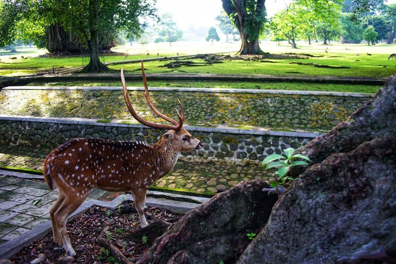 The deer in Bogor presidential palace yard. Deer Photography By @jgawibowo Shot By Arif Wibowo INDONESIA Travel Destinations Travel Photography Likeforlike Like4like Animals In The Wild Animal Wildlife Animal Themes Antler Nature One Animal Stag Beauty In Nature Outdoors Tree