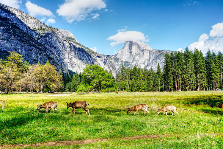 Deer Yosemite National Park Animal Grass Group Of Animals Mountain Nature Outdoors