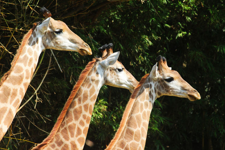 Animal Themes Close-up Day Family Giraffe Giraffes Grass Herbivorous Mammal Nature No People Outdoors Three Togetherness Zoo Zoo Animals  Zoology