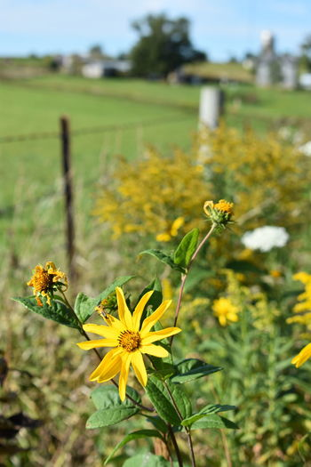 Farm Farm Life Farmland Rural Wisconsin Yellow Flower Beauty In Nature Blooming Close-up Day Field Flower Flower Head Focus On Foreground Fragility Freshness Growth Nature No People Outdoors Plant Rural Landscape Weeds Are Beautiful Too Wisconsin Landscape Yellow