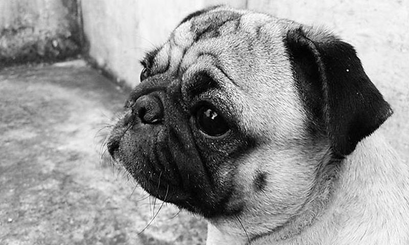 Dogs Pug Puggy